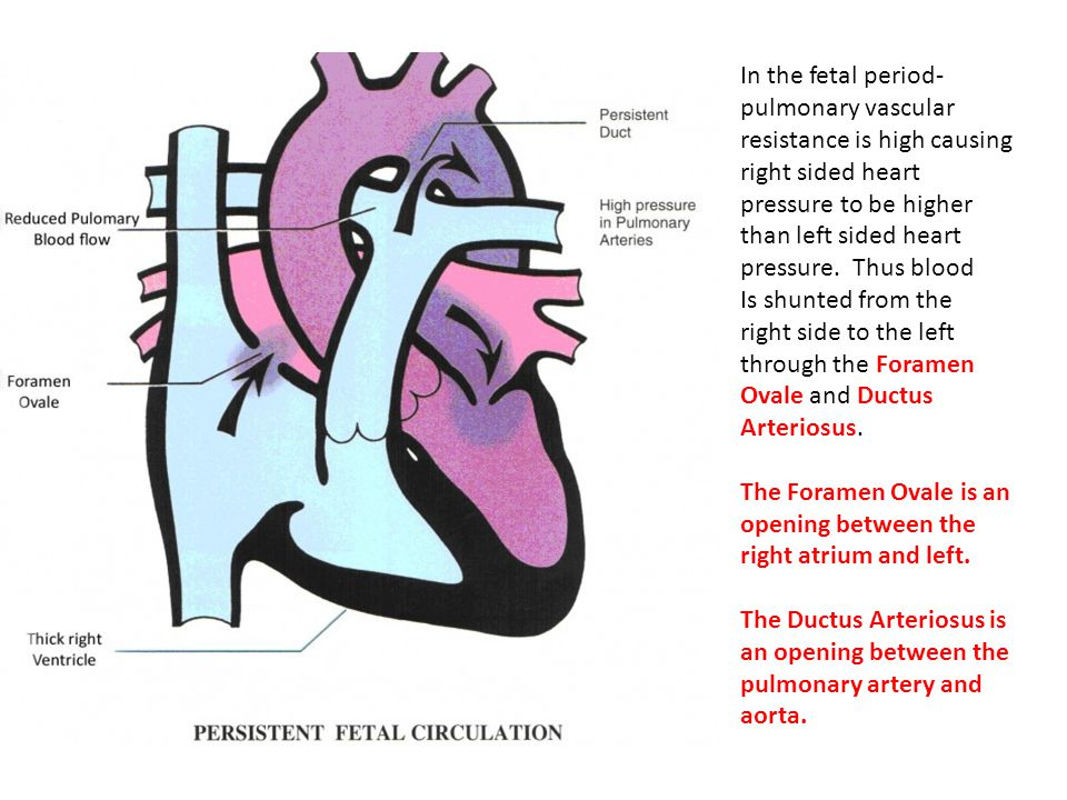 In the fetal period- pulmonary vascular resistance is high causing right sided heart pressure to be higher than left sided heart pressure. Thus blood