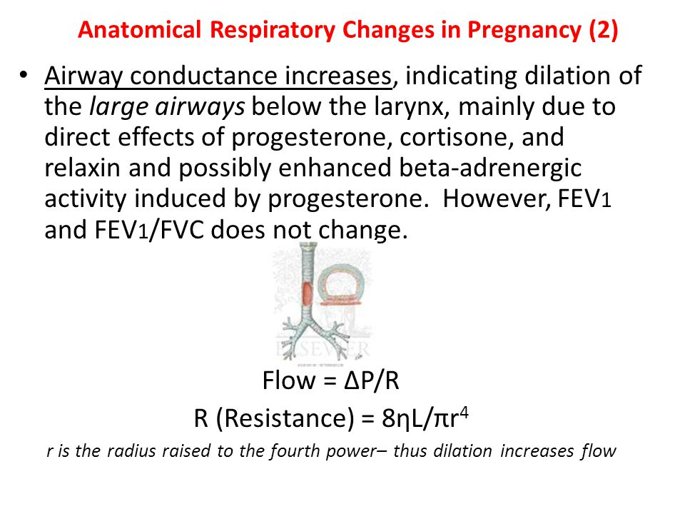 Anatomical Respiratory Changes in Pregnancy (2) Airway conductance increases, indicating dilation of the large airways below the larynx, mainly due to