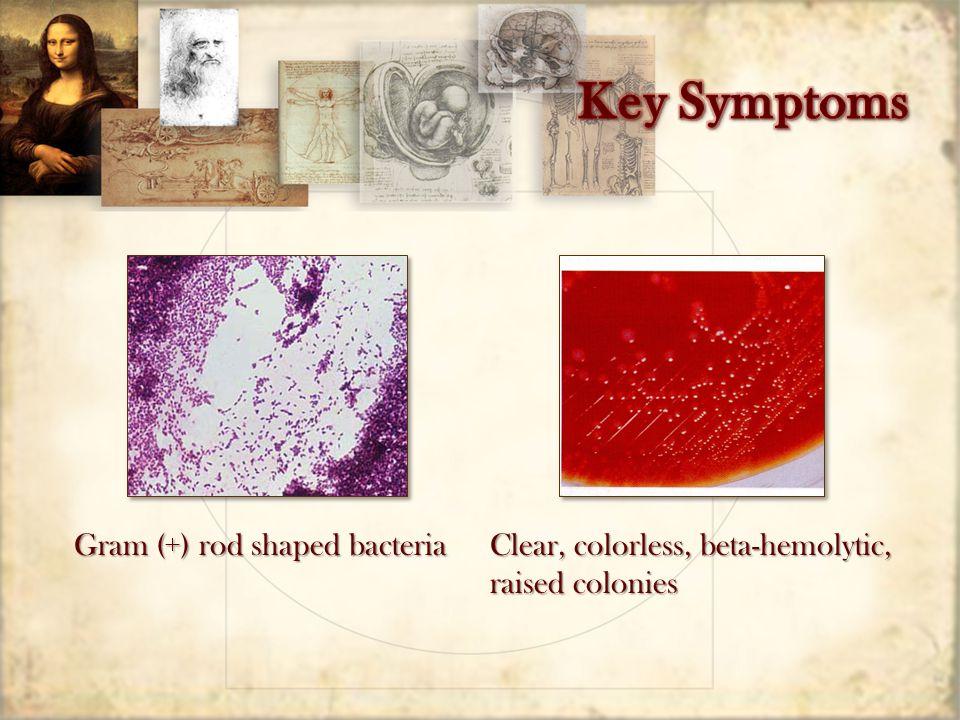 Gram (+) rod shaped bacteria Clear, colorless, beta-hemolytic, raised colonies