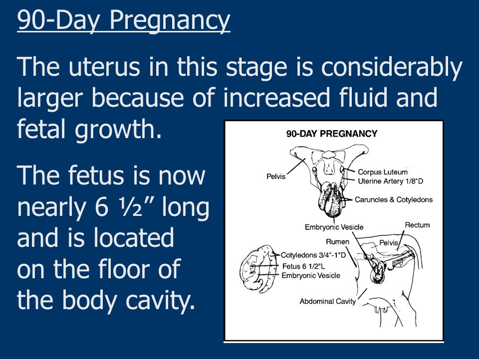 """90-Day Pregnancy The uterus in this stage is considerably larger because of increased fluid and fetal growth. The fetus is now nearly 6 ½"""" long and is"""