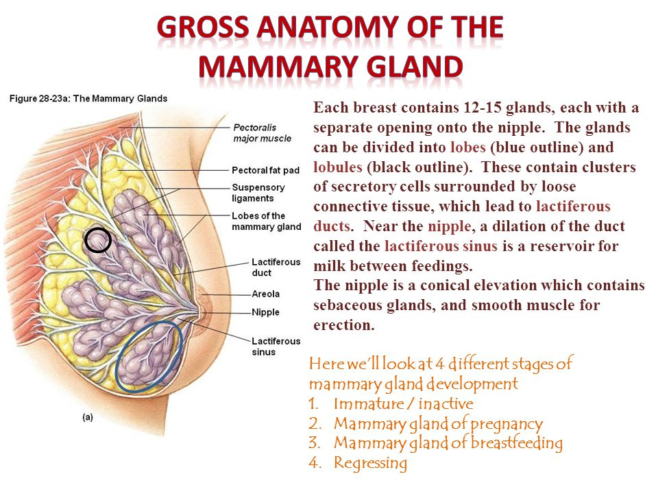 The immature (pre-pubertal) mammary gland is mostly stroma, consisting of connective tissue mixed with some adipose tissue.