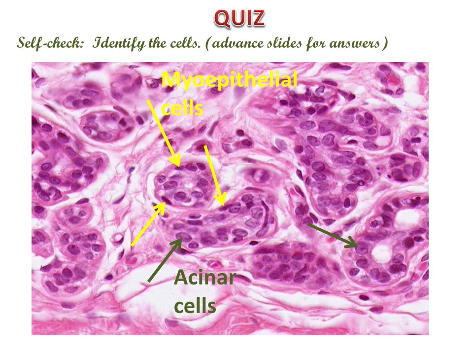 Self-check: Identify the cells. (advance slides for answers) Myoepithelial cells Acinar cells