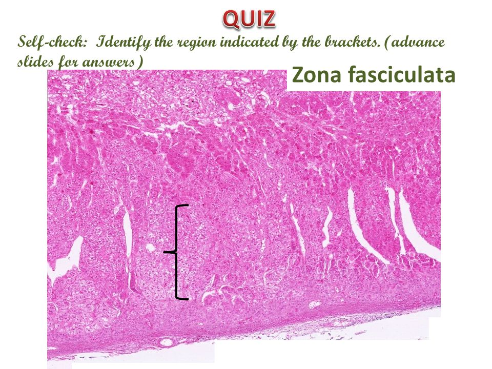 Self-check: Identify the region indicated by the brackets. (advance slides for answers) Zona fasciculata