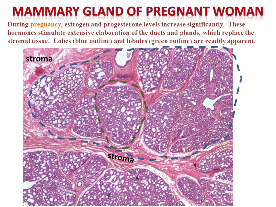 Self-check: Identify. (advance slides for answers) Regressing mammary gland