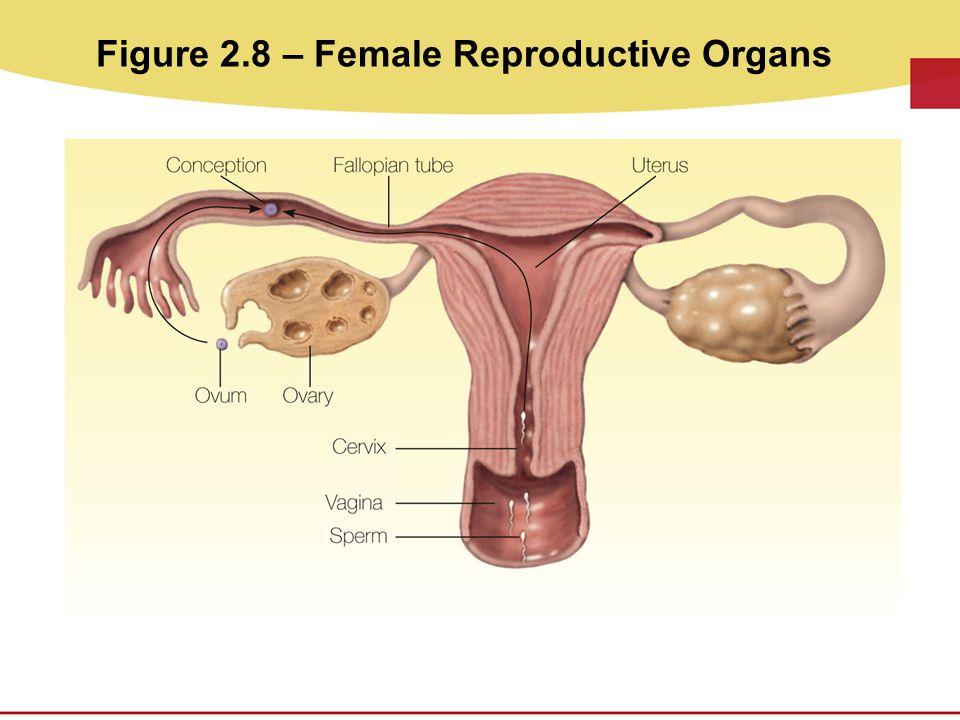 Figure 2.8 – Female Reproductive Organs