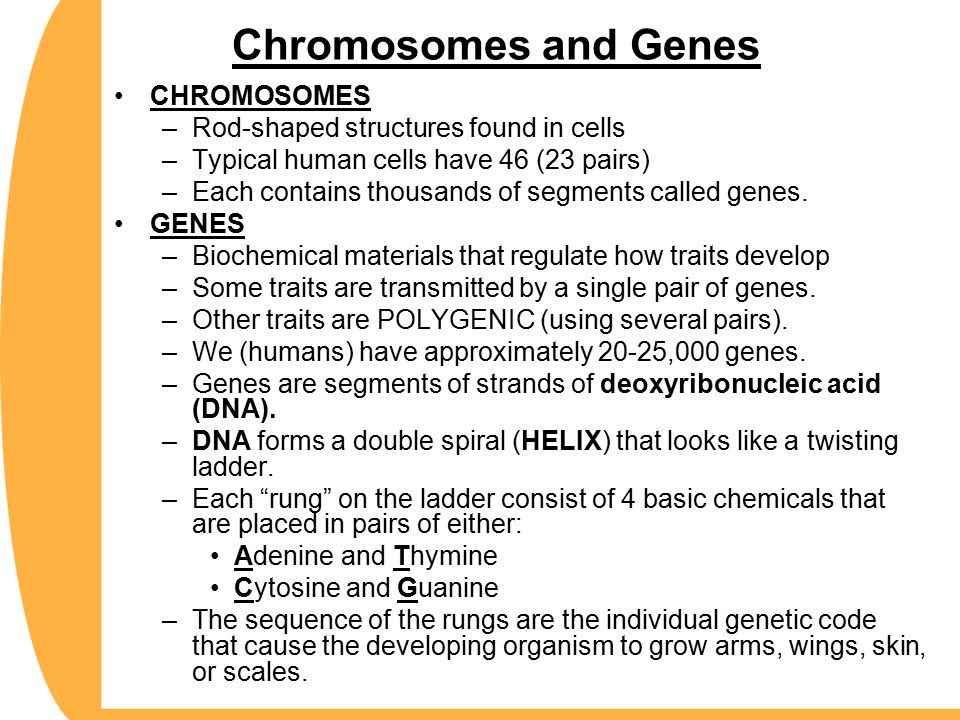 Chromosomes and Genes CHROMOSOMES –Rod-shaped structures found in cells –Typical human cells have 46 (23 pairs) –Each contains thousands of segments called genes.
