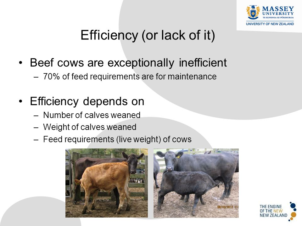 Beef cows are exceptionally inefficient –70% of feed requirements are for maintenance Efficiency depends on –Number of calves weaned –Weight of calves weaned –Feed requirements (live weight) of cows Efficiency (or lack of it)