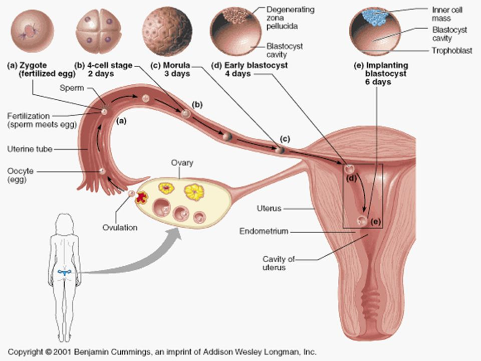 The Fetus 7 th to 9 th months – Body size increases; more proportionate – Body fat accumulates – Eyelids open and close End of 9 th month – Fetus is ready to be born