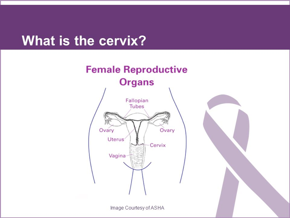 What is the cervix? Image Courtesy of ASHA