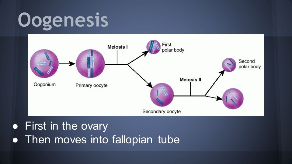 Oogenesis ●First in the ovary ●Then moves into fallopian tube