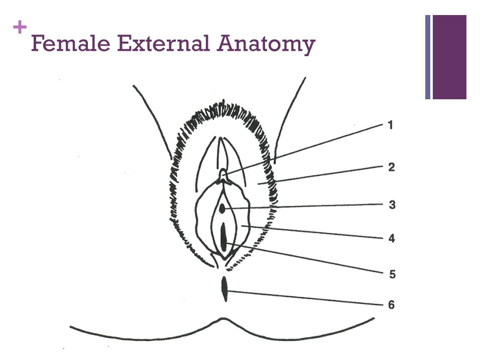 + Female External Anatomy