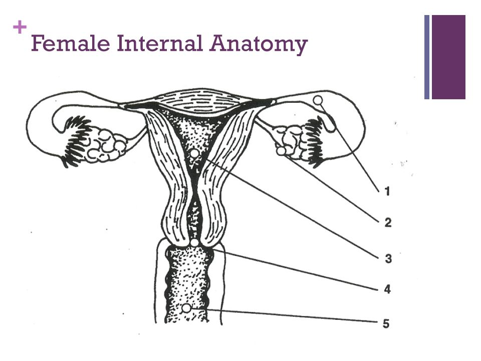 + Female Internal Anatomy