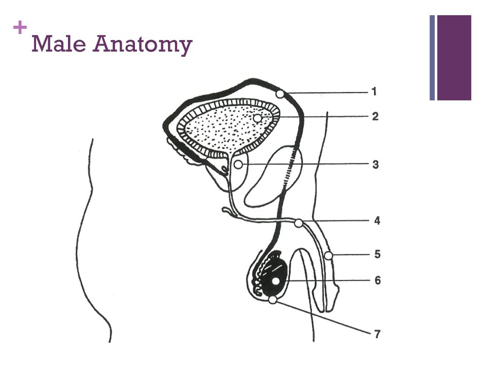 + Male Anatomy