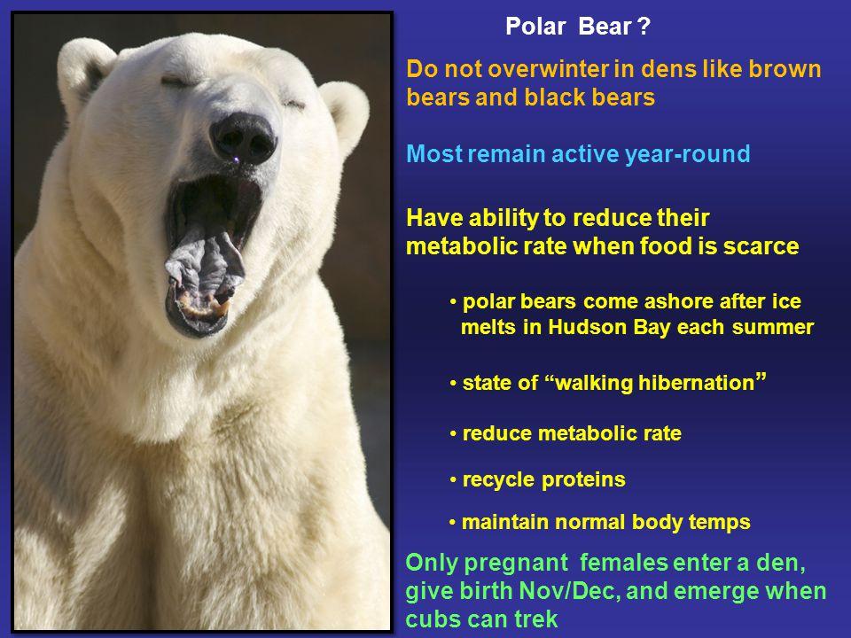 Polar Bear .