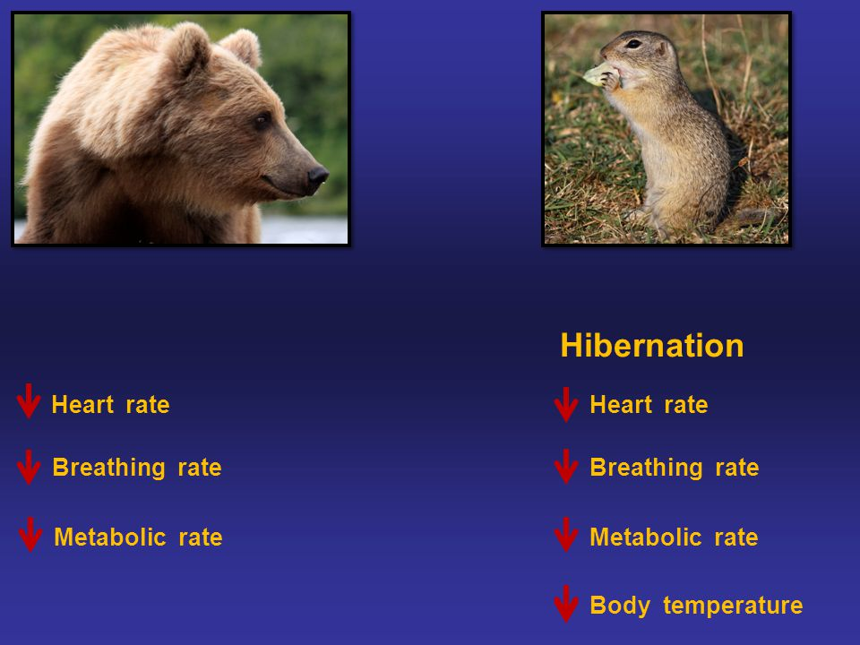 Hibernation Heart rate Metabolic rate Body temperature Breathing rate Heart rate Breathing rate Metabolic rate