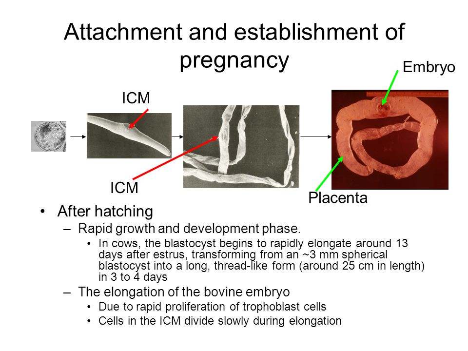 Attachment and establishment of pregnancy After hatching –Rapid growth and development phase. In cows, the blastocyst begins to rapidly elongate aroun
