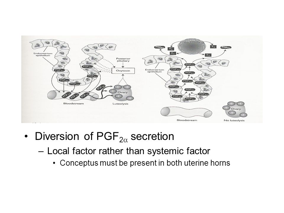 Diversion of PGF 2  secretion –Local factor rather than systemic factor Conceptus must be present in both uterine horns