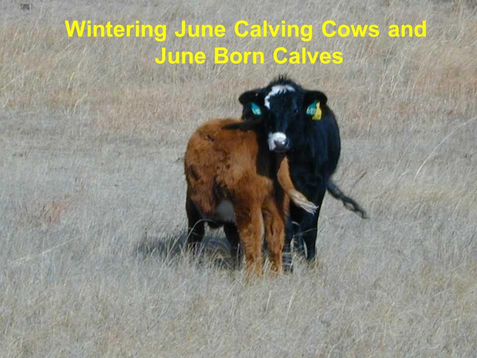 Wintering June Calving Cows and June Born Calves