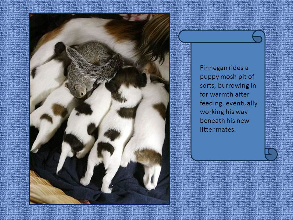 Finnega n makes himself at home with his new litter mates, nuzzlin g nose- to-nose for a nap after feeding