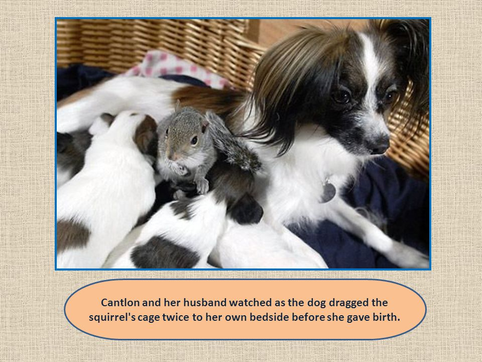 Cantlon and her husband watched as the dog dragged the squirrel s cage twice to her own bedside before she gave birth.