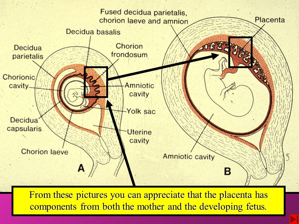 From these pictures you can appreciate that the placenta has components from both the mother and the developing fetus.
