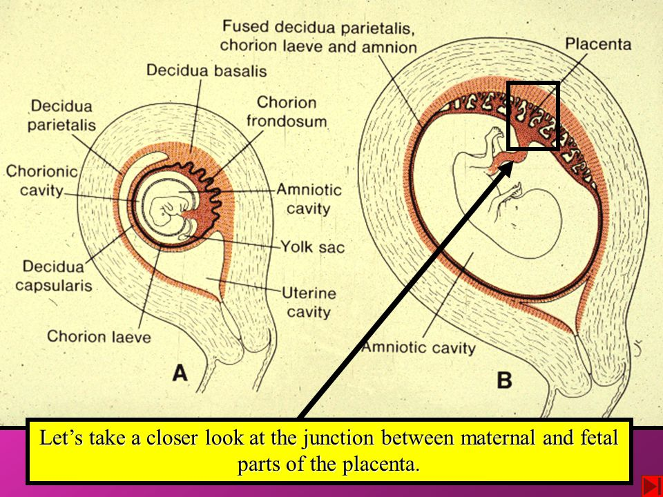 Let's take a closer look at the junction between maternal and fetal parts of the placenta.