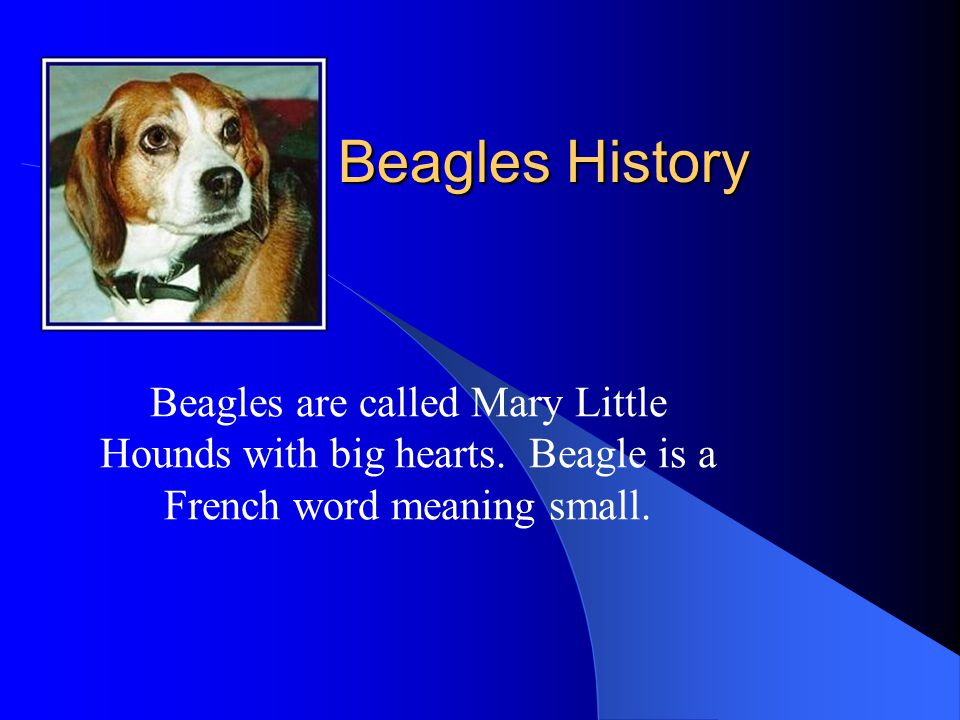 Beagles History Beagles are called Mary Little Hounds with big hearts. Beagle is a French word meaning small.