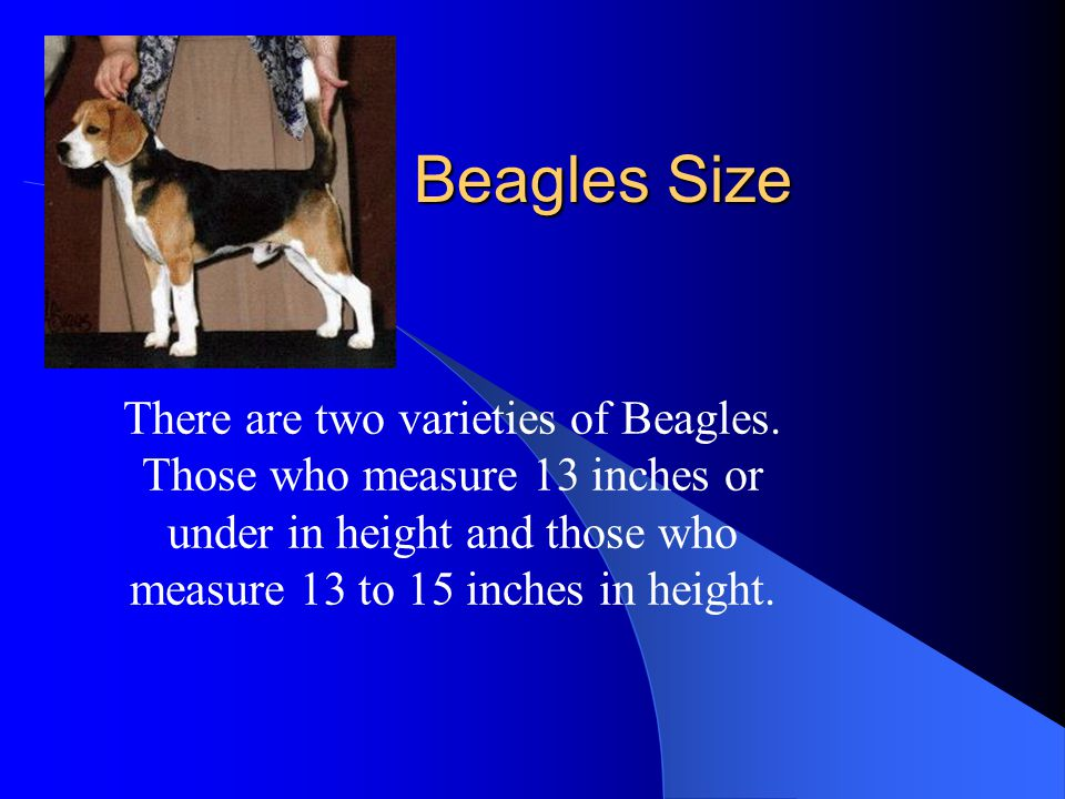 Beagles Size There are two varieties of Beagles. Those who measure 13 inches or under in height and those who measure 13 to 15 inches in height.