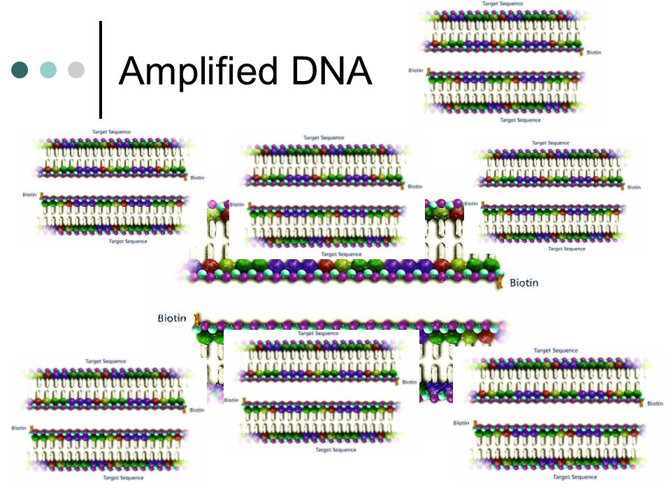 Amplified DNA