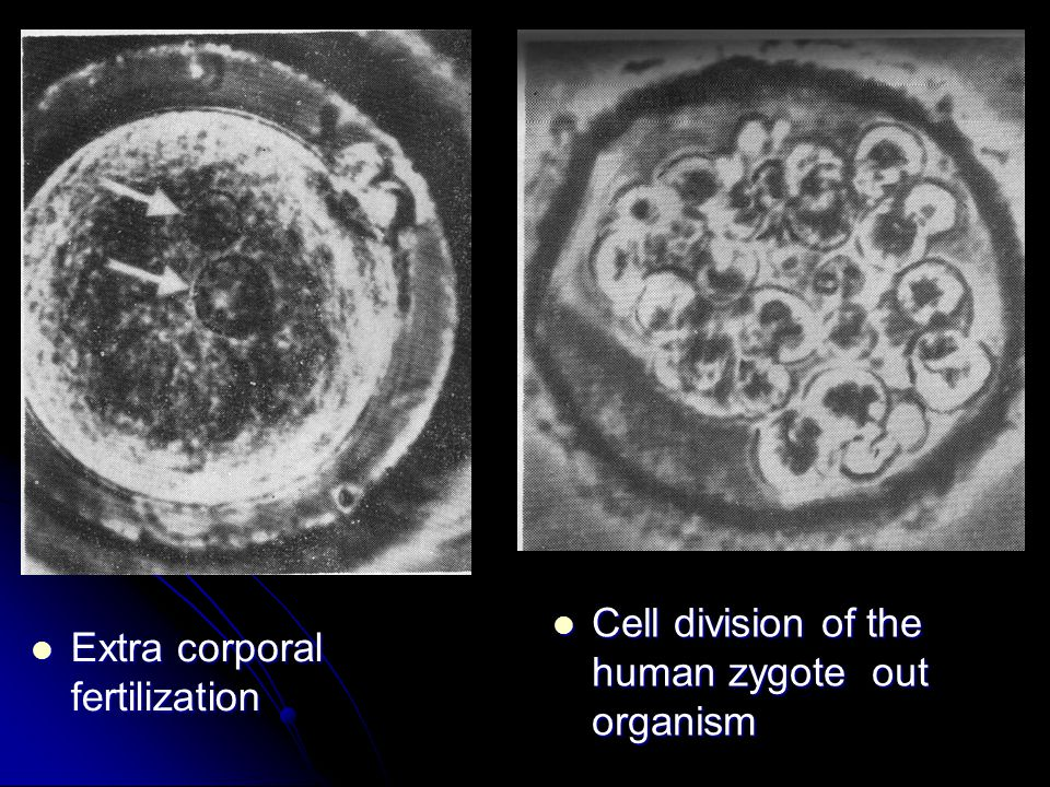 Extra corporal fertilization Extra corporal fertilization Cell division of the human zygote out organism Cell division of the human zygote out organis