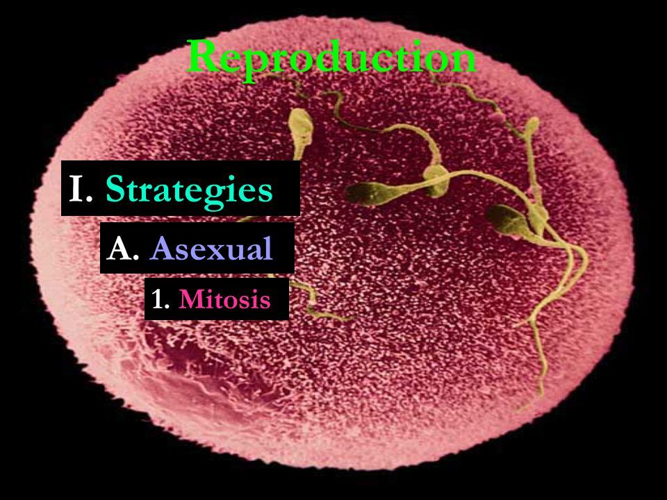 Reproduction A. Asexual 1. Mitosis I. Strategies