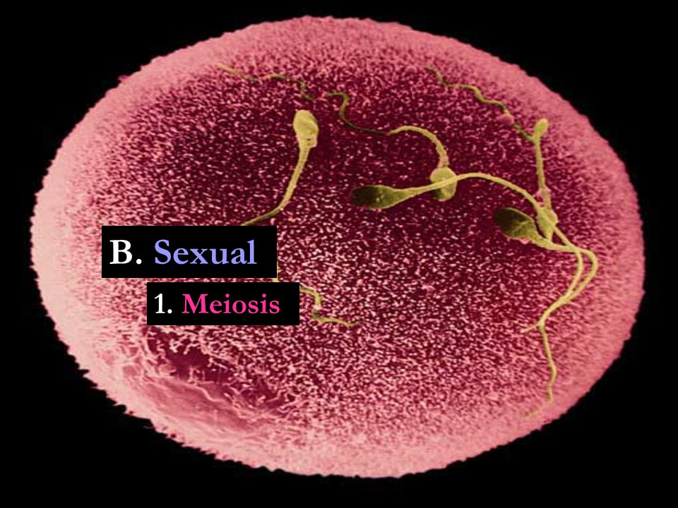 B. Sexual 1. Meiosis