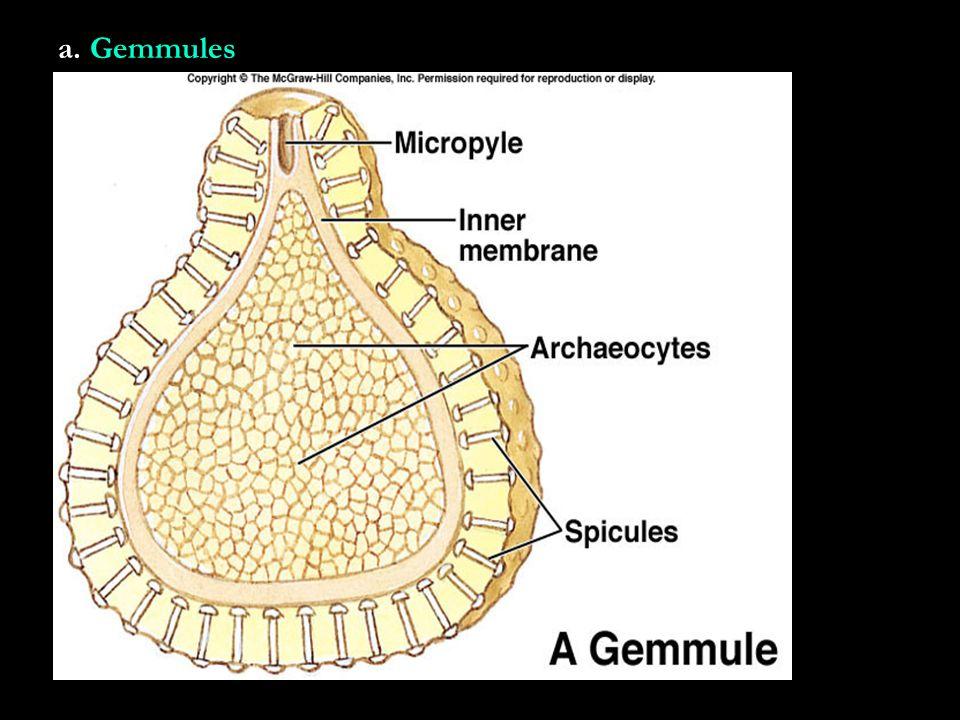 a. Gemmules