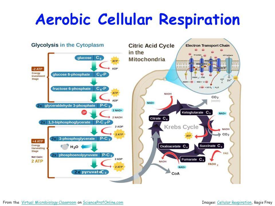 Aerobic Cellular Respiration Images: Cellular Respiration, Regis Fre yCellular Respiration From the Virtual Microbiology Classroom on ScienceProfOnline.comVirtual Microbiology ClassroomScienceProfOnline.com