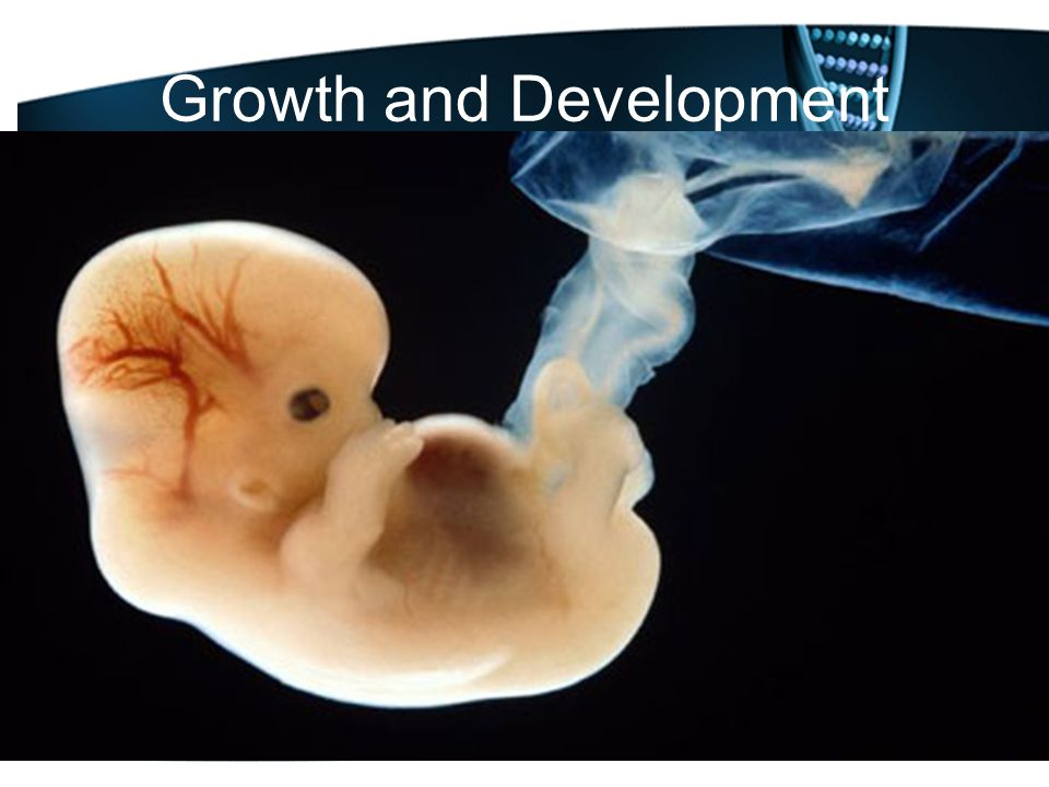 Growth and Development Once attached, the embryo will grow a placenta and an umbilical chord.