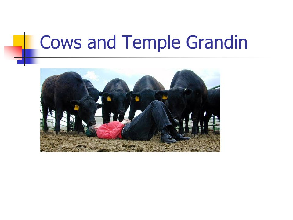 Cows and Temple Grandin