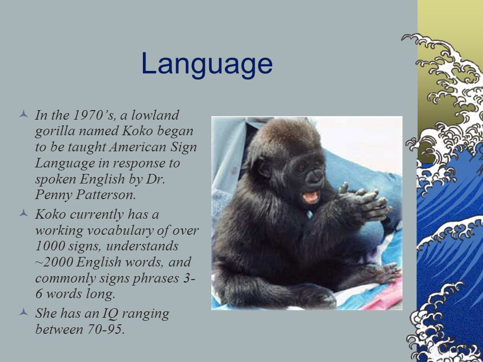 Language In the 1970's, a lowland gorilla named Koko began to be taught American Sign Language in response to spoken English by Dr.