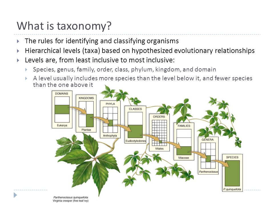 What is taxonomy?  The rules for identifying and classifying organisms  Hierarchical levels (taxa) based on hypothesized evolutionary relationships