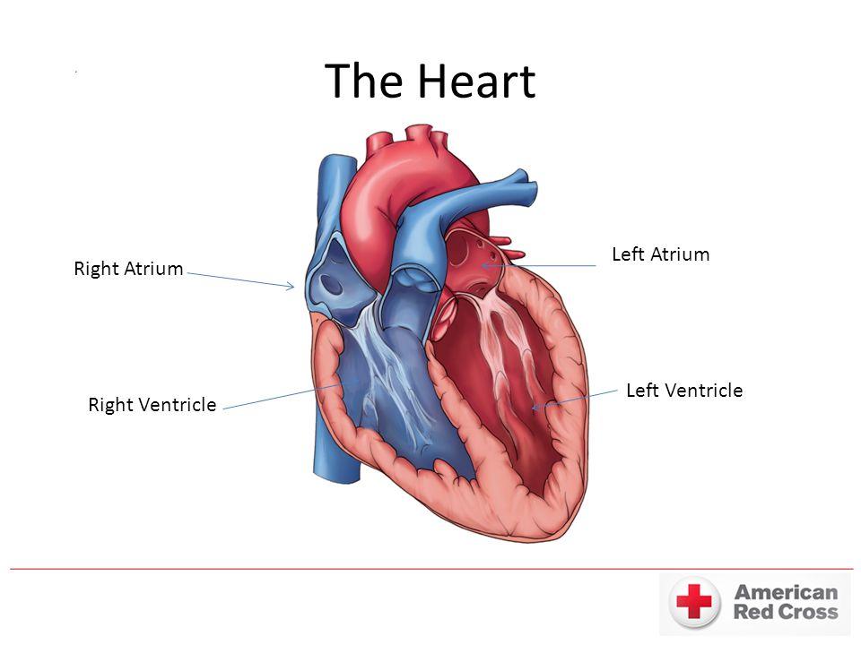 The Heart Right Atrium Right Ventricle Left Atrium Left Ventricle