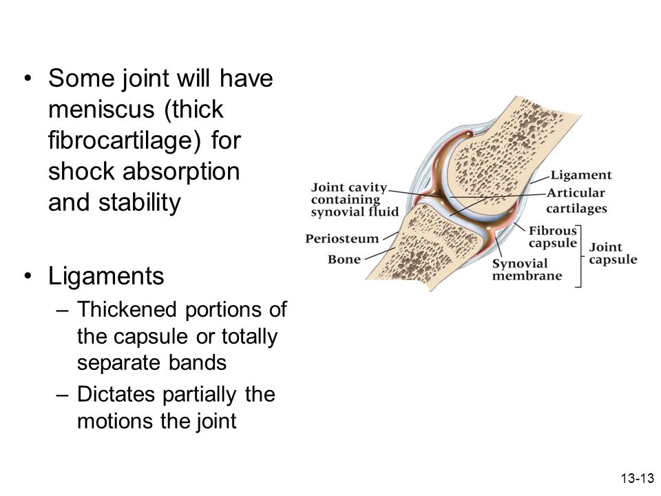 13-13 Some joint will have meniscus (thick fibrocartilage) for shock absorption and stability Ligaments –Thickened portions of the capsule or totally