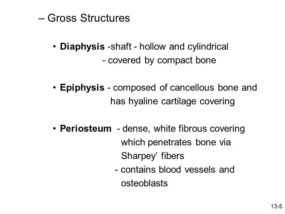 13-5 –Gross Structures Diaphysis -shaft - hollow and cylindrical - covered by compact bone Epiphysis - composed of cancellous bone and has hyaline car