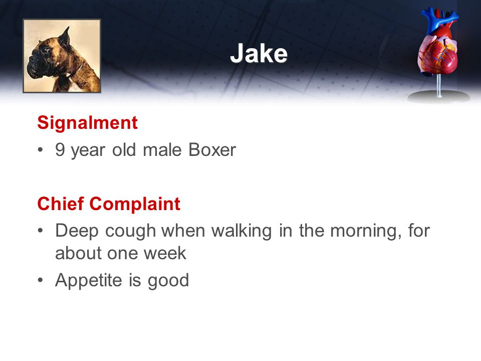 Jake Signalment 9 year old male Boxer Chief Complaint Deep cough when walking in the morning, for about one week Appetite is good