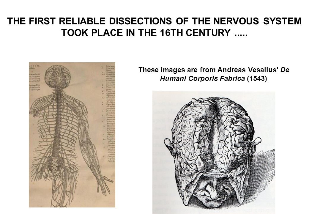 THE FIRST RELIABLE DISSECTIONS OF THE NERVOUS SYSTEM TOOK PLACE IN THE 16TH CENTURY.....