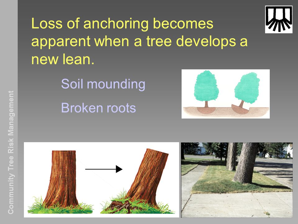 Community Tree Risk Management Loss of anchoring becomes apparent when a tree develops a new lean.