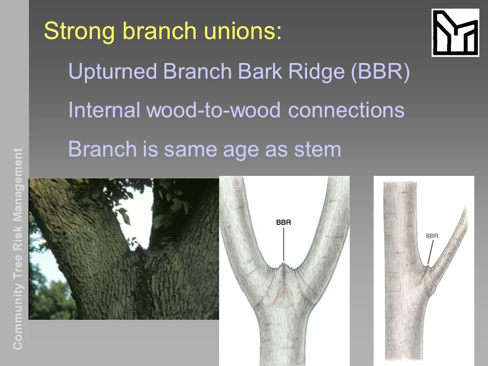 Community Tree Risk Management Strong branch unions: Upturned Branch Bark Ridge (BBR) Internal wood-to-wood connections Branch is same age as stem