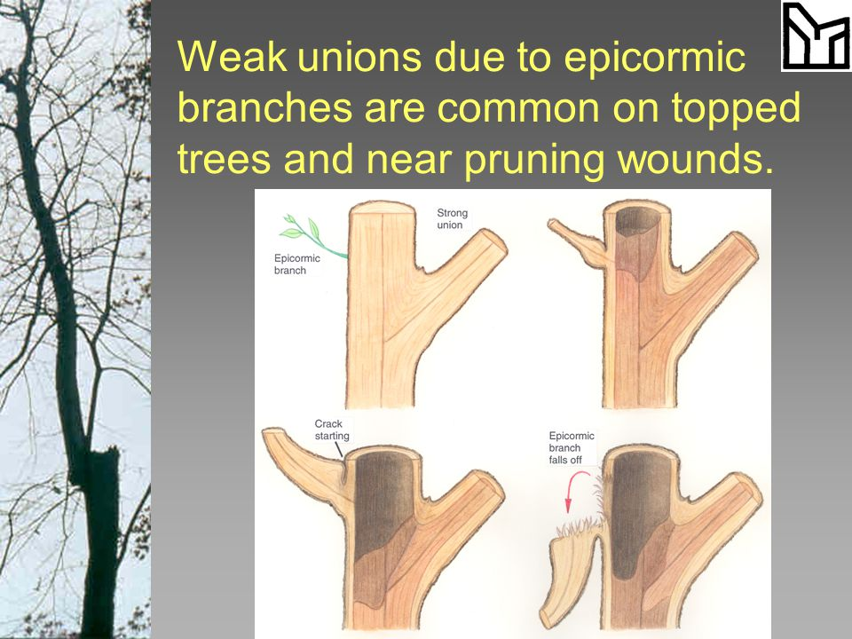 Community Tree Risk Management Weak unions due to epicormic branches are common on topped trees and near pruning wounds.