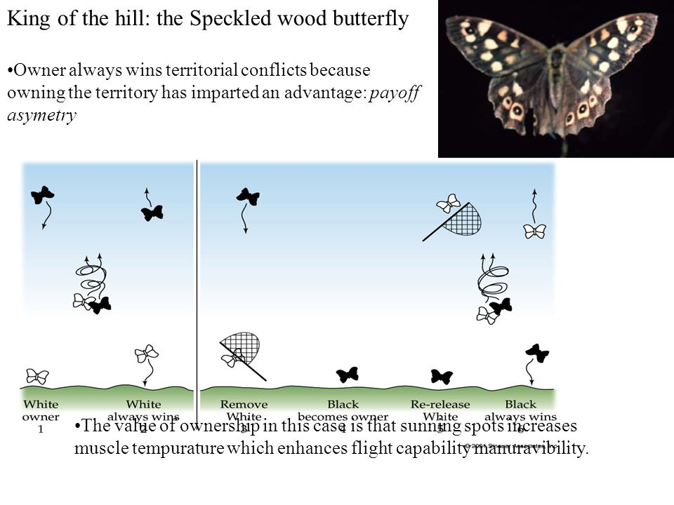 King of the hill: the Speckled wood butterfly Owner always wins territorial conflicts because owning the territory has imparted an advantage: payoff asymetry The value of ownership in this case is that sunning spots increases muscle tempurature which enhances flight capability manuravibility.