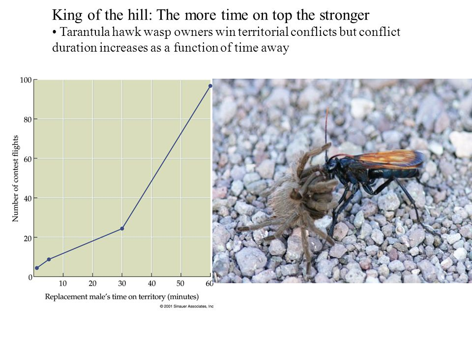 King of the hill: The more time on top the stronger Tarantula hawk wasp owners win territorial conflicts but conflict duration increases as a function of time away