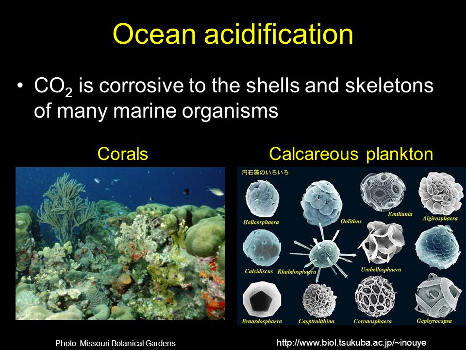 Ocean acidification CO 2 is corrosive to the shells and skeletons of many marine organisms http://www.biol.tsukuba.ac.jp/~inouye Photo: Missouri Botan