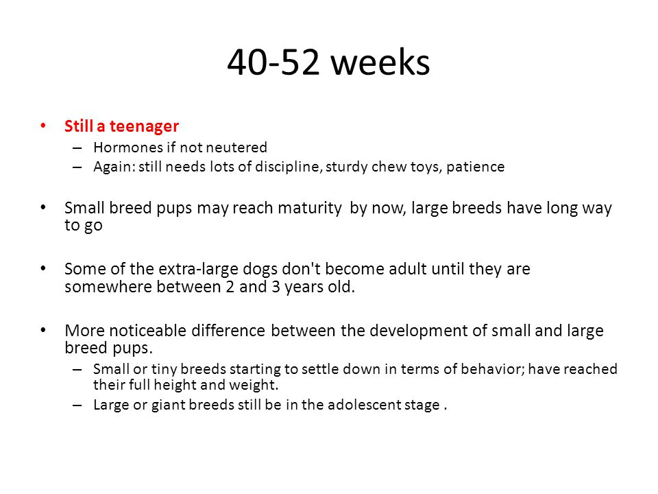 40-52 weeks Still a teenager – Hormones if not neutered – Again: still needs lots of discipline, sturdy chew toys, patience Small breed pups may reach maturity by now, large breeds have long way to go Some of the extra-large dogs don t become adult until they are somewhere between 2 and 3 years old.